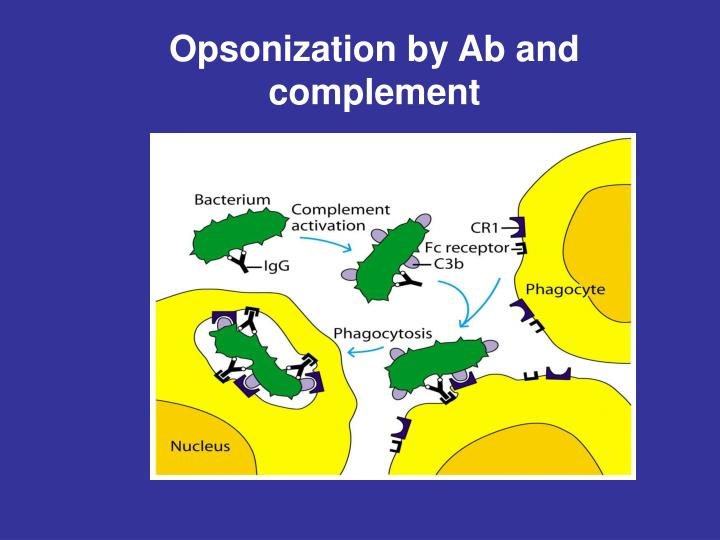 Opsonization by Ab and complement