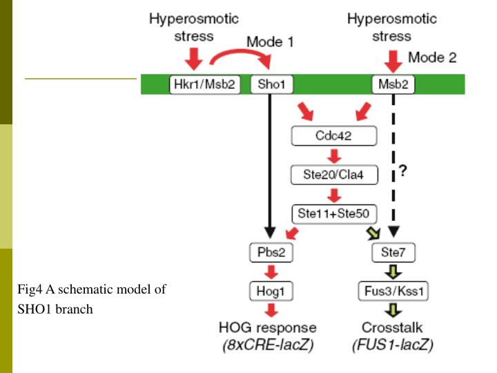 Fig4 A schematic model of