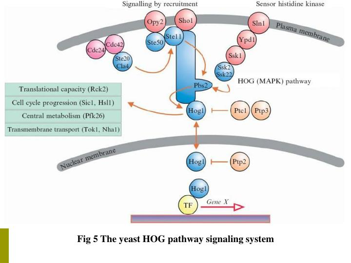 Fig 5 The yeast HOG pathway signaling system