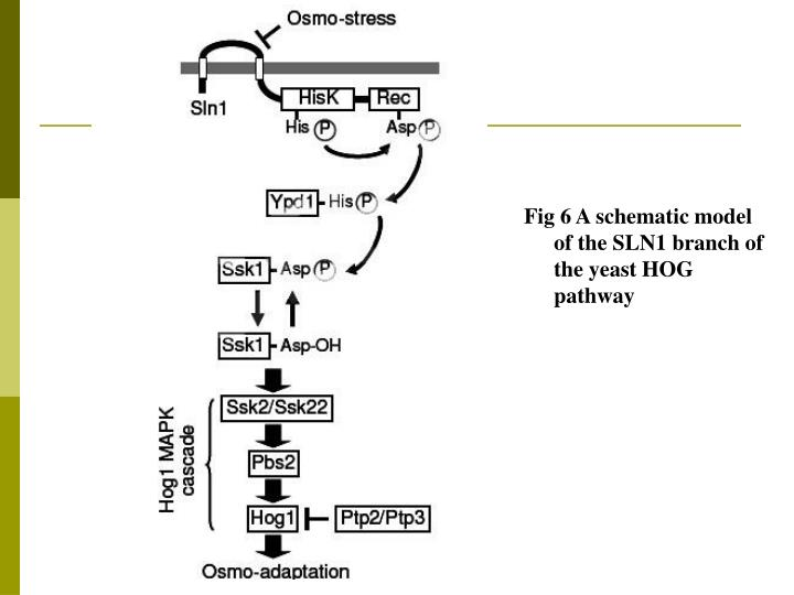 Fig 6 A schematic model of the SLN1 branch of the yeast HOG pathway