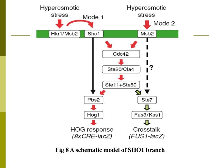 Fig 8 A schematic model of SHO1 branch