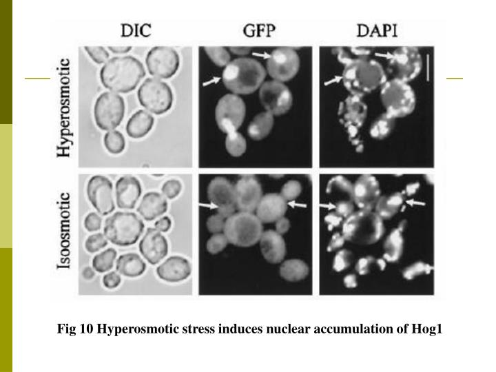 Fig 10 Hyperosmotic stress induces nuclear accumulation of Hog1