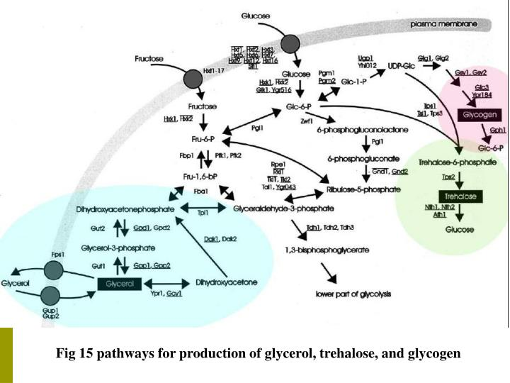 Fig 15 pathways for production of glycerol, trehalose, and glycogen