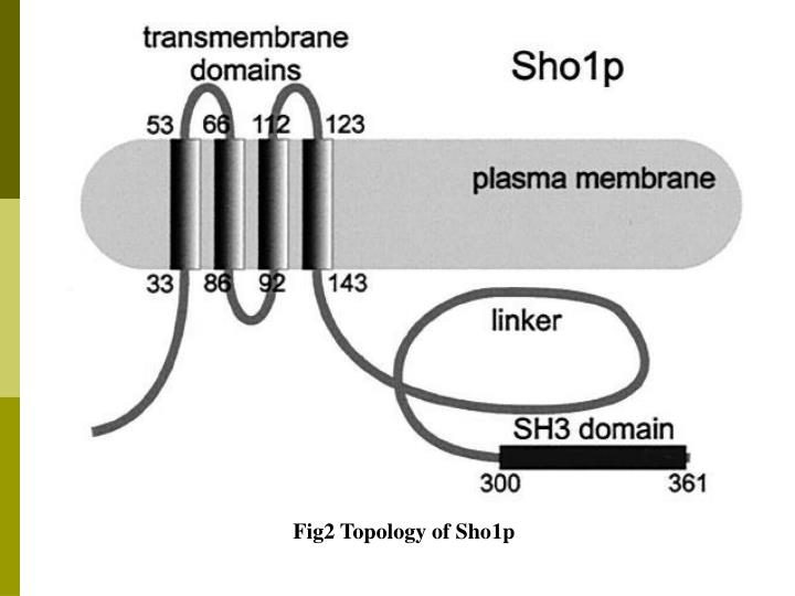 Fig2 Topology of Sho1p