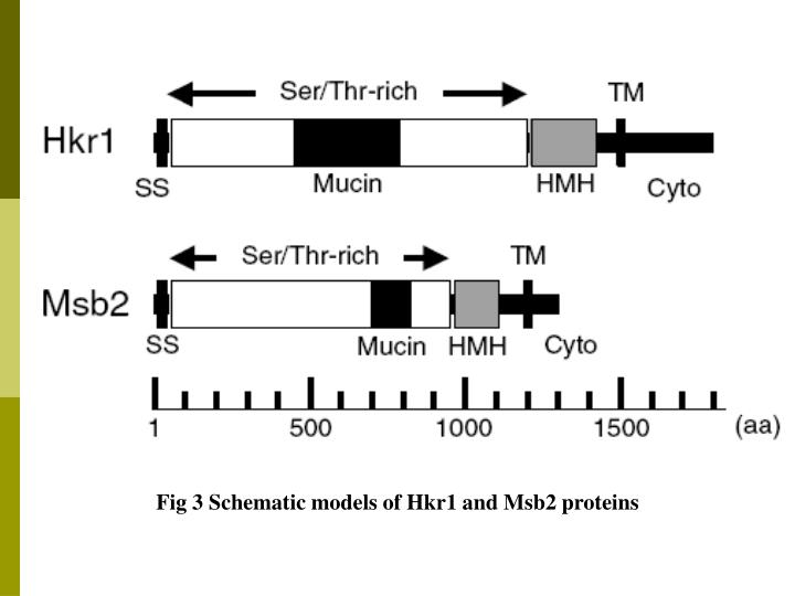 Fig 3 Schematic models of Hkr1 and Msb2 proteins