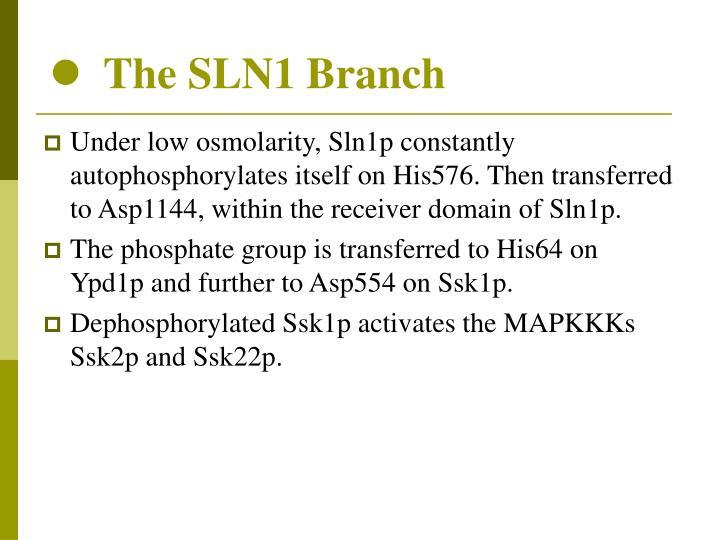 The SLN1 Branch