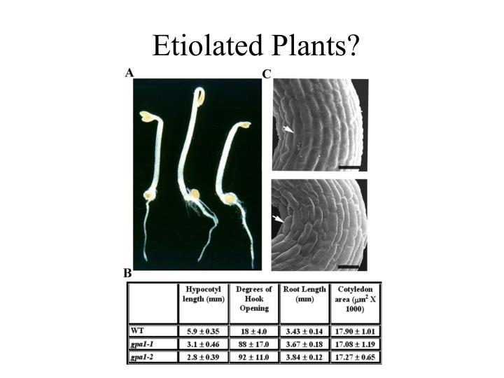 Etiolated Plants?