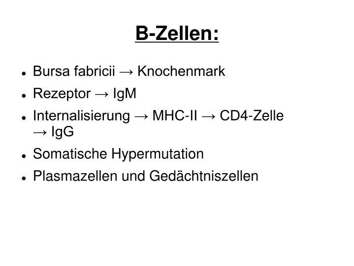B-Zellen: