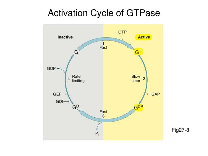 Activation Cycle of GTPase