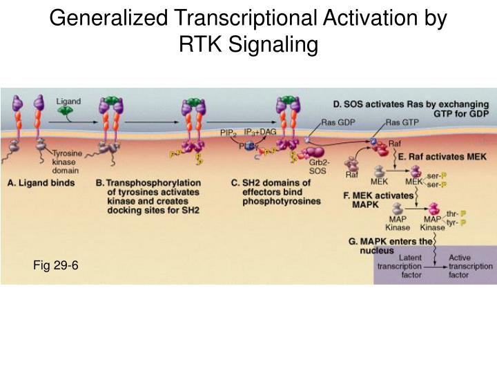 Generalized Transcriptional Activation by RTK Signaling