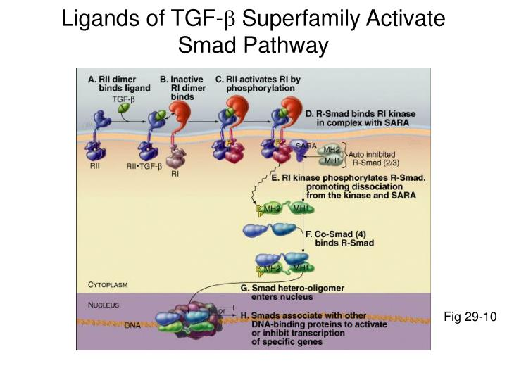 Ligands of TGF-