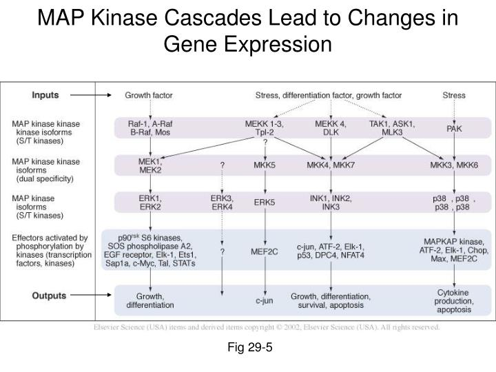 MAP Kinase Cascades Lead to Changes in Gene Expression