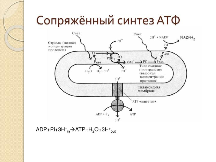 Сопряжённый синтез АТФ