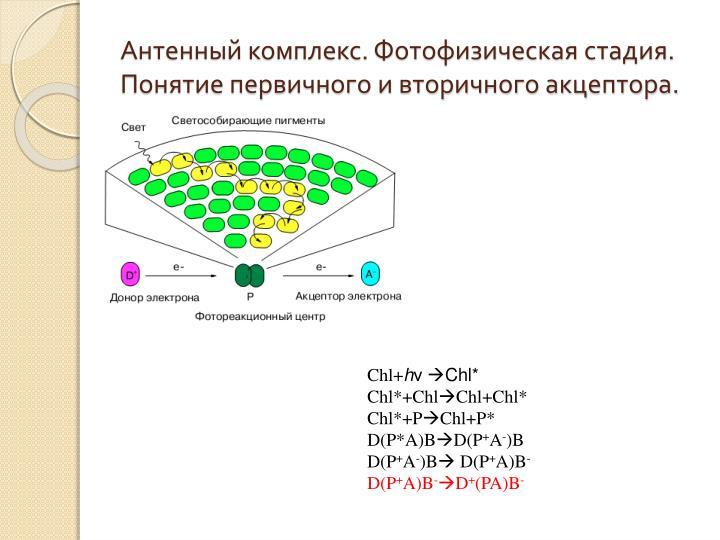Антенный комплекс. Фотофизическая стадия. Понятие первичного и вторичного акцептора.