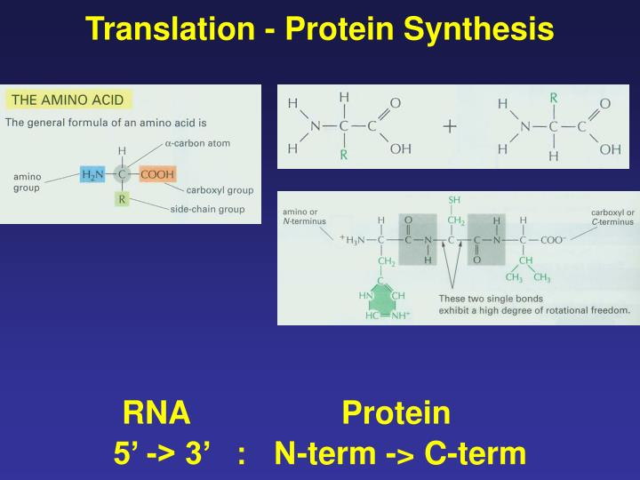 Translation - Protein Synthesis