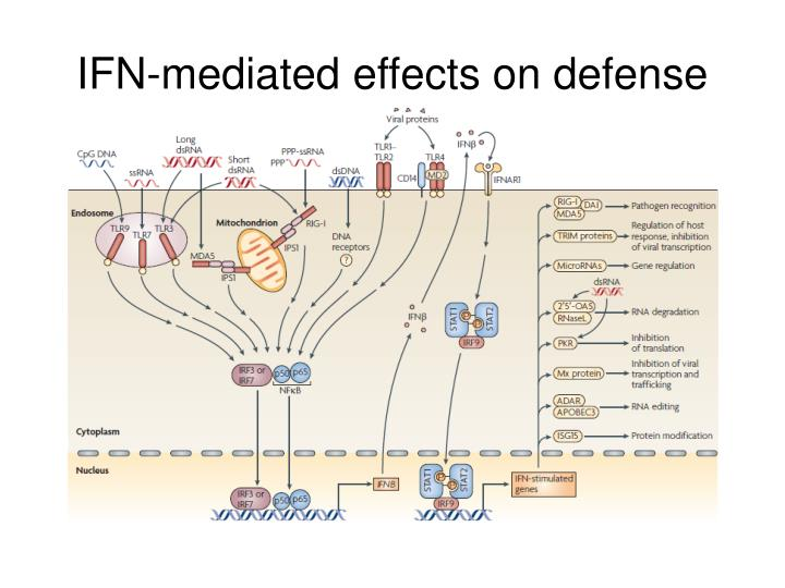 IFN-mediated effects on defense