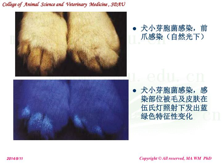 犬小芽胞菌感染,前爪感染(自然光下)