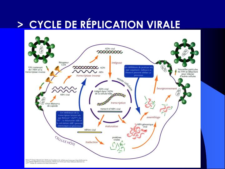 >  CYCLE DE RÉPLICATION VIRALE