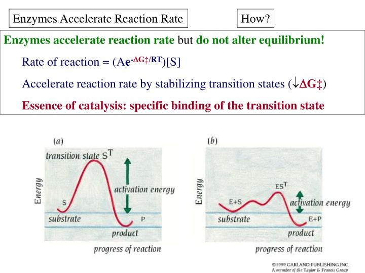 Enzymes Accelerate Reaction Rate