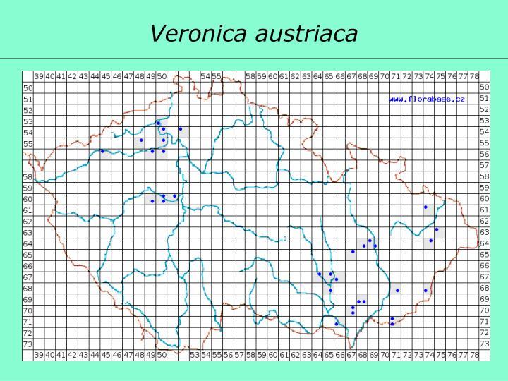 Veronica austriaca