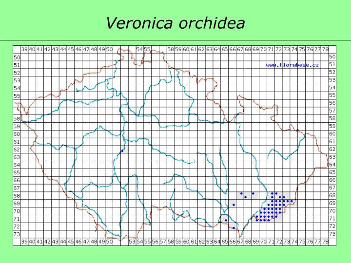 Veronica orchidea