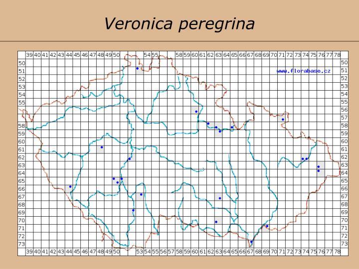 Veronica peregrina