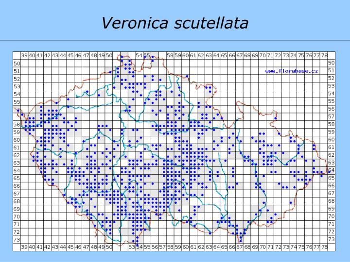 Veronica scutellata