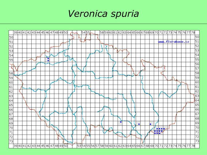 Veronica spuria
