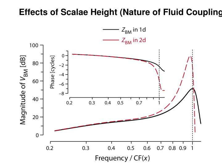 Effects of Scalae Height (Nature of Fluid Coupling)
