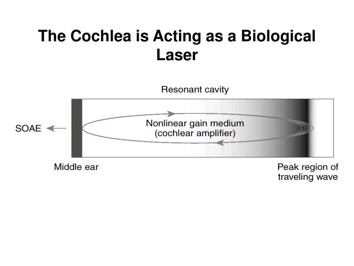 The Cochlea is Acting as a Biological Laser