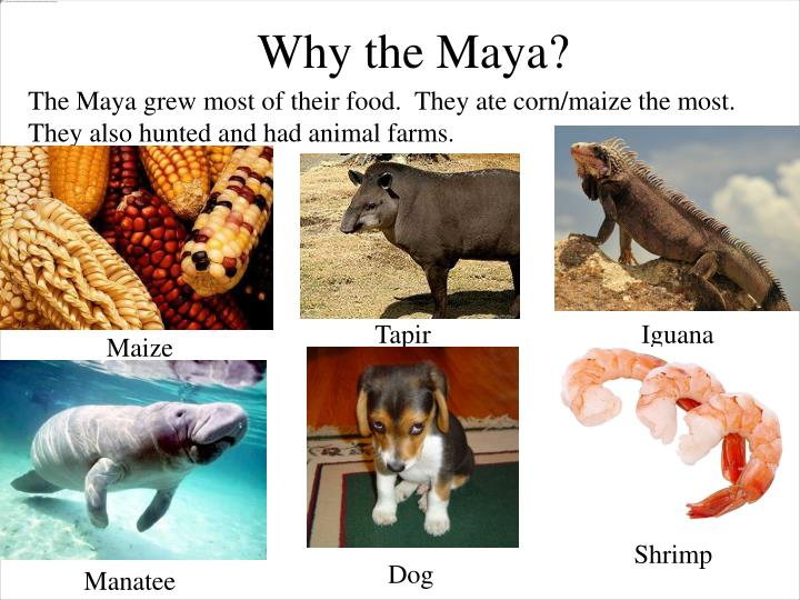 The Maya grew most of their food.  They ate corn/maize the most.  They also hunted and had animal farms.