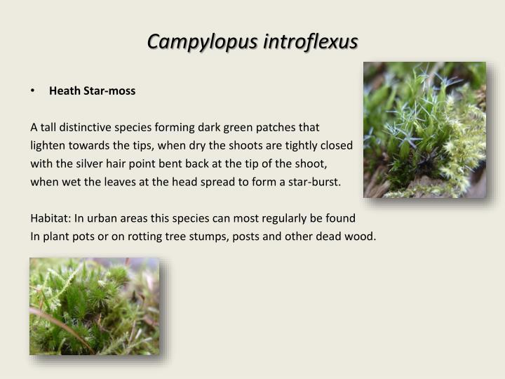 Campylopus