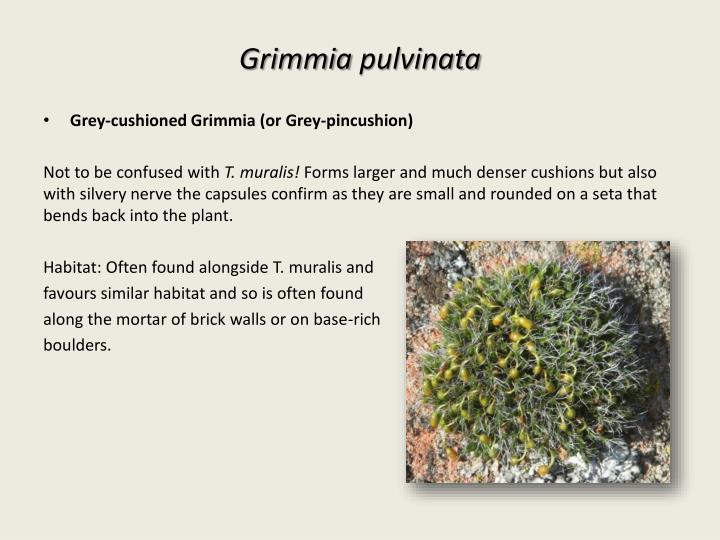 Grimmia
