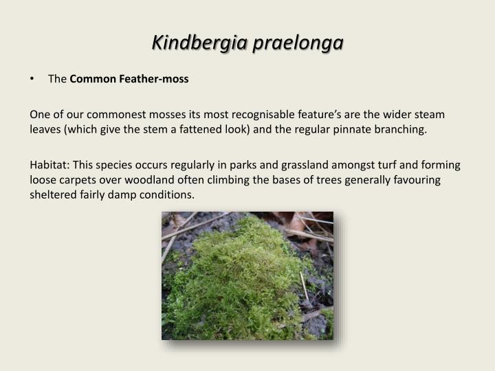 Kindbergia