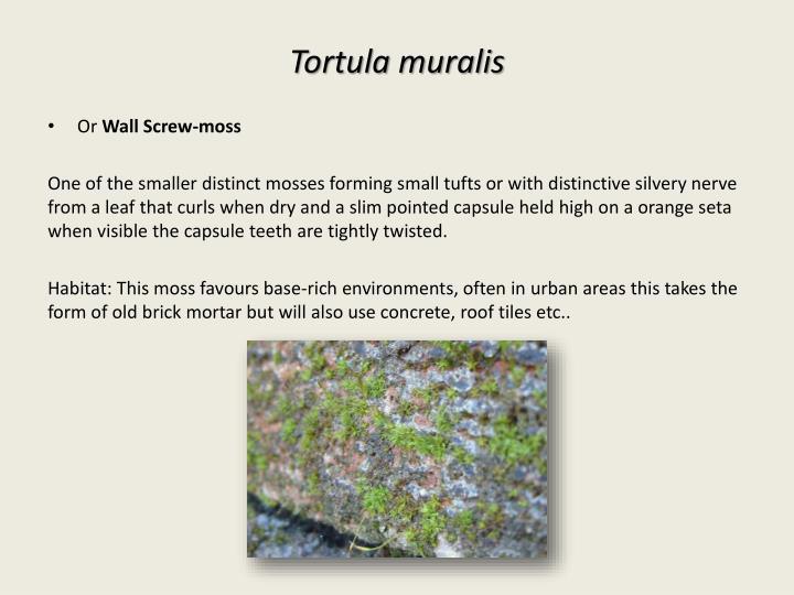 Tortula