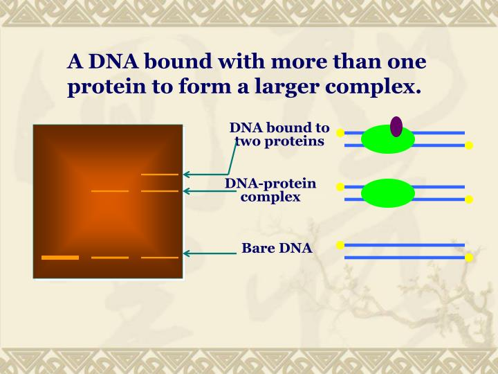 A DNA bound with more than one protein to form a larger complex.