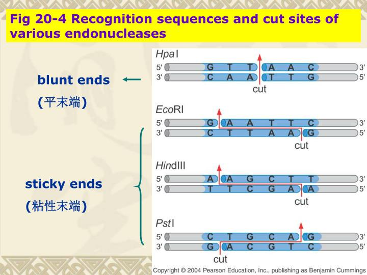 Fig 20-4 Recognition sequences and cut sites of various endonucleases