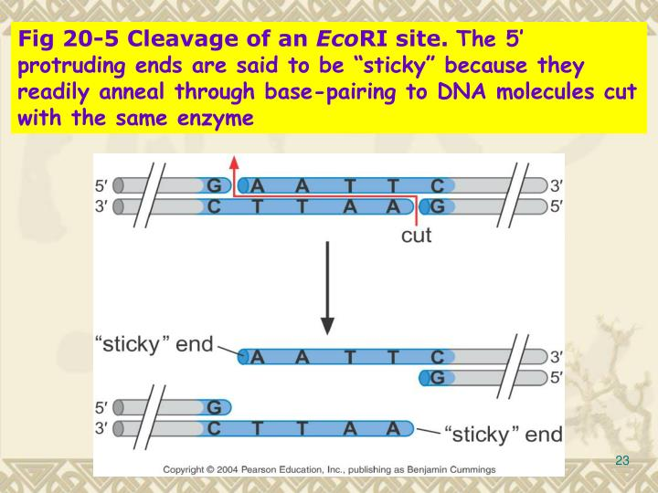 Fig 20-5 Cleavage of an