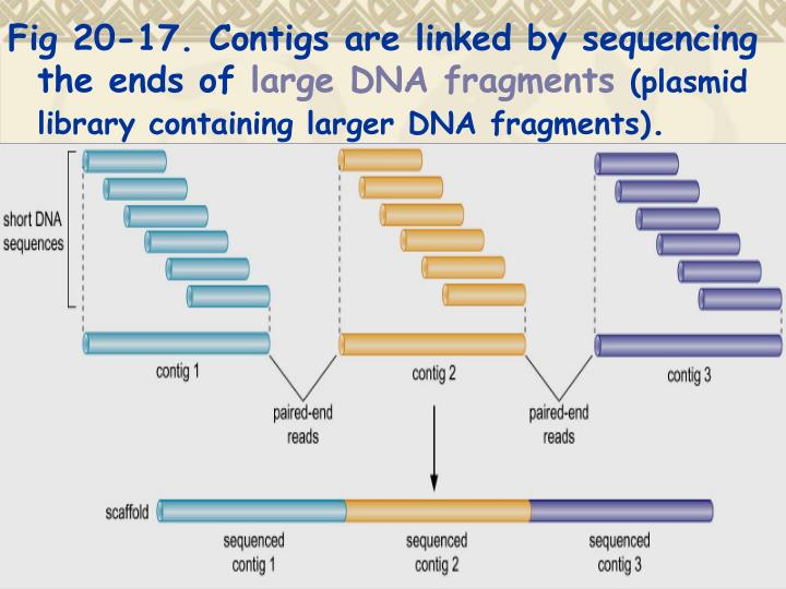 Fig 20-17. Contigs are linked by sequencing the ends of