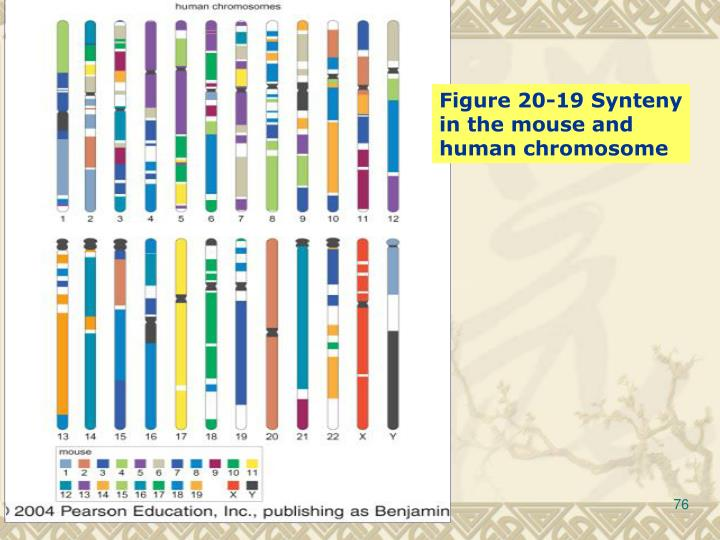 Figure 20-19 Synteny in the mouse and human chromosome