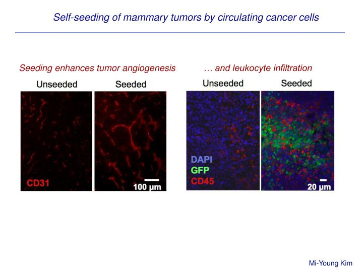 Self-seeding of mammary tumors by circulating cancer cells