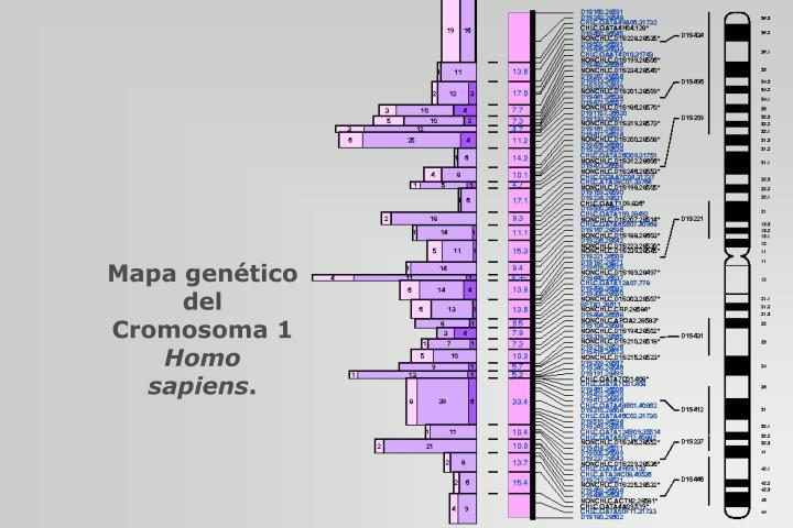Mapa genético del Cromosoma 1