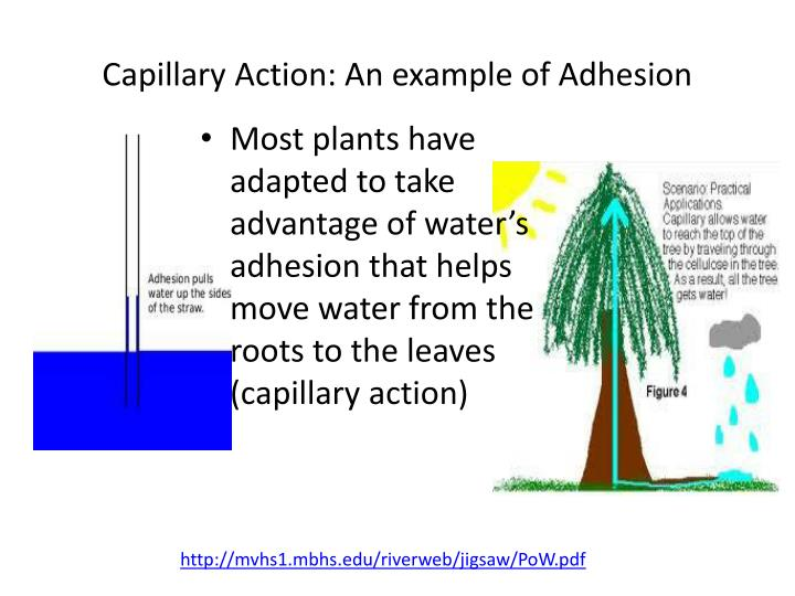 Capillary Action: An example of Adhesion
