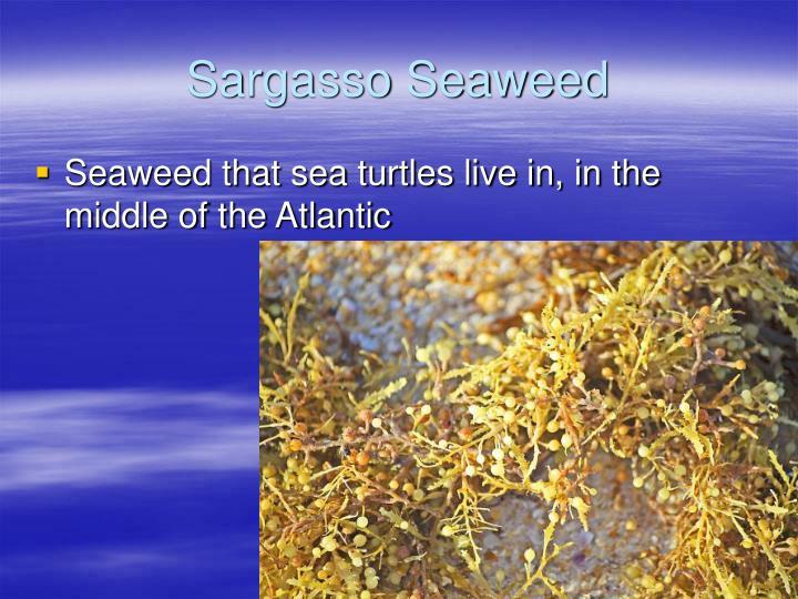 Sargasso Seaweed