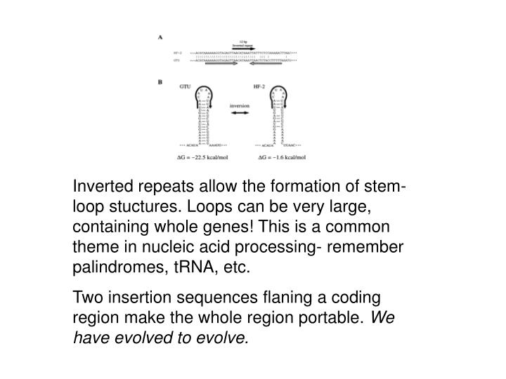 Inverted repeats allow the formation of stem-loop stuctures. Loops can be very large, containing whole genes! This is a common theme in nucleic acid processing- remember palindromes, tRNA, etc.
