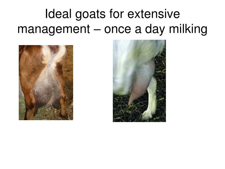 Ideal goats for extensive management – once a day milking