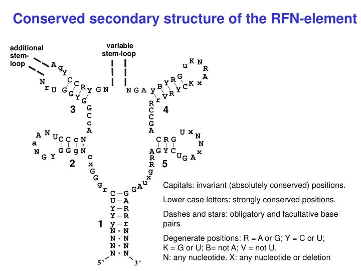 Conserved secondary structure of the RFN-element