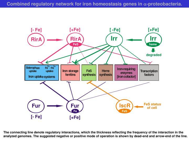 Combined regulatory network for iron homeostasis genes in