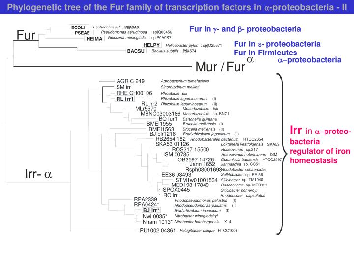 Phylogenetic tree of the Fur family of transcription factors in