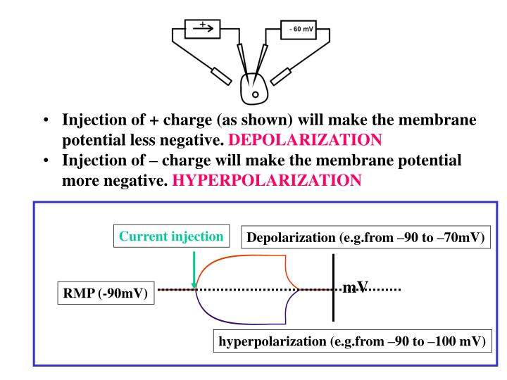 Injection of + charge (as shown) will make the membrane potential less negative.